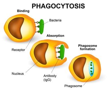 Phagocytosis process