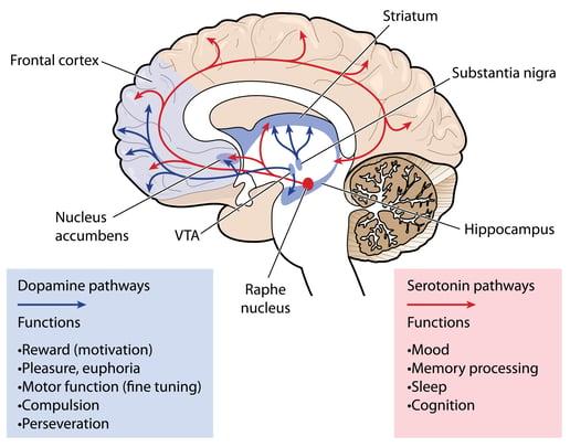 Serotonin pathways in the brain.