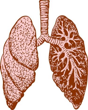 Illustration of the human lungs.